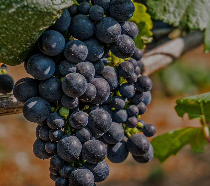 Close Up of Grape Vine at Acrobat Winery