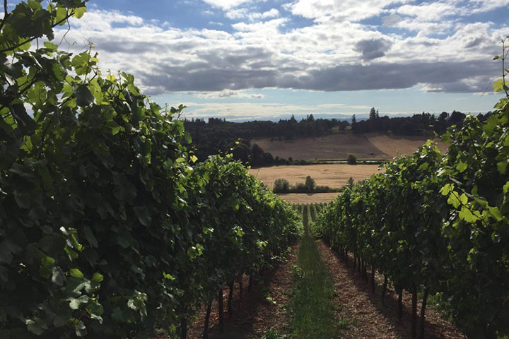 View of Nekia Hill Vineyard