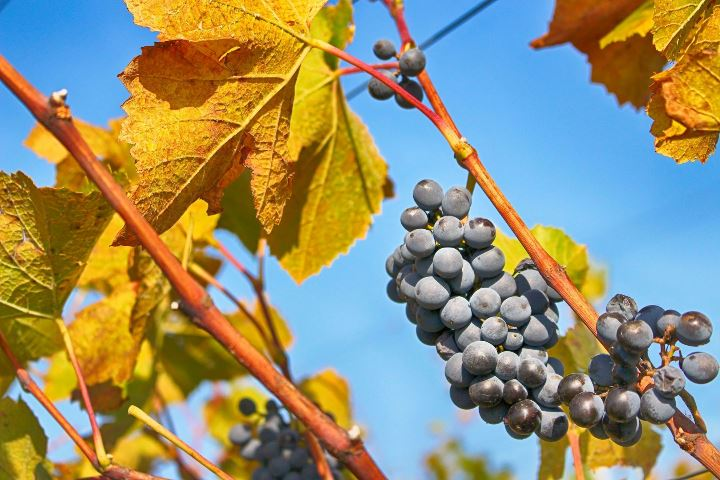 Close up of a vineyard row with two clusters of grapes surrounded by burnt orange leaves.