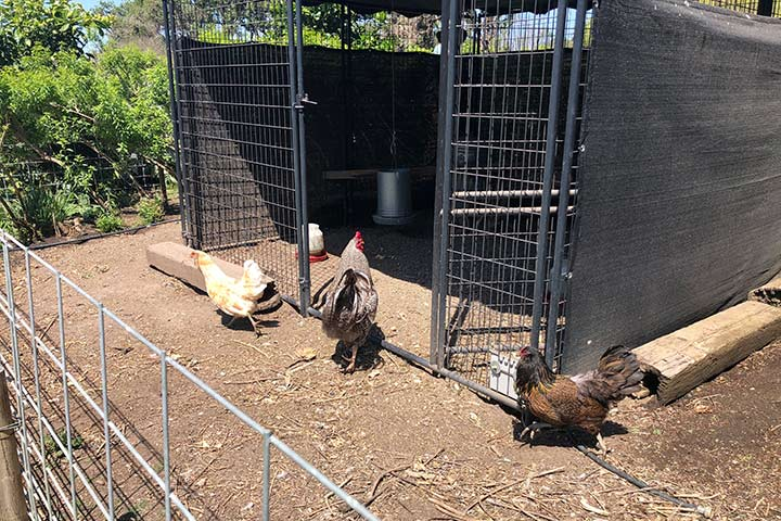 chickens and a rooster