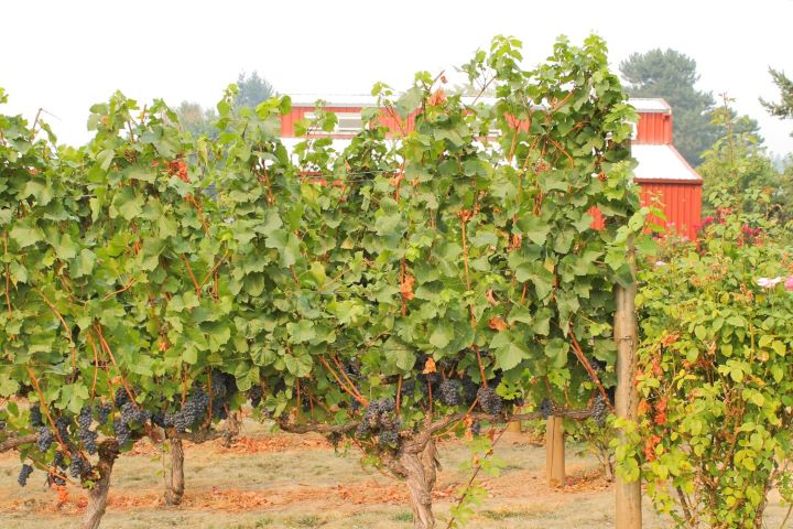 Vineyards and The Four Graces Barn