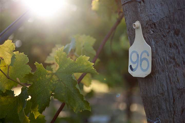 #96 Tag Affixed to A Vineyard Post Denoting the Rootstock