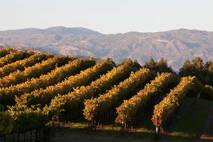 Orange and Gold Grape Vines at Chalk Hill