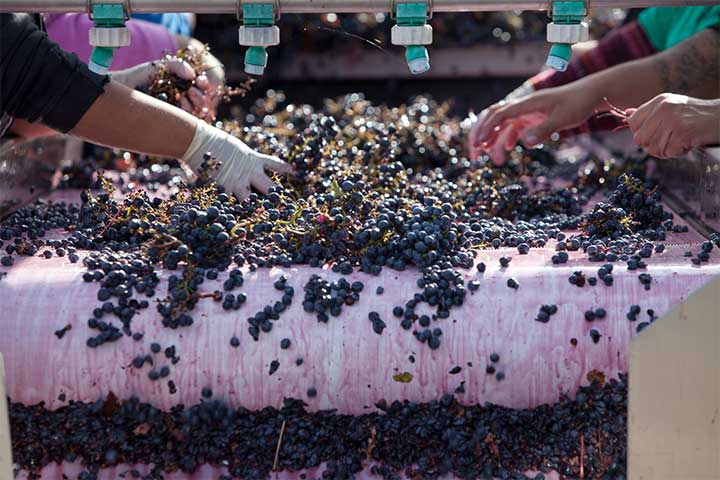 Red Grapes Being Hand Washed