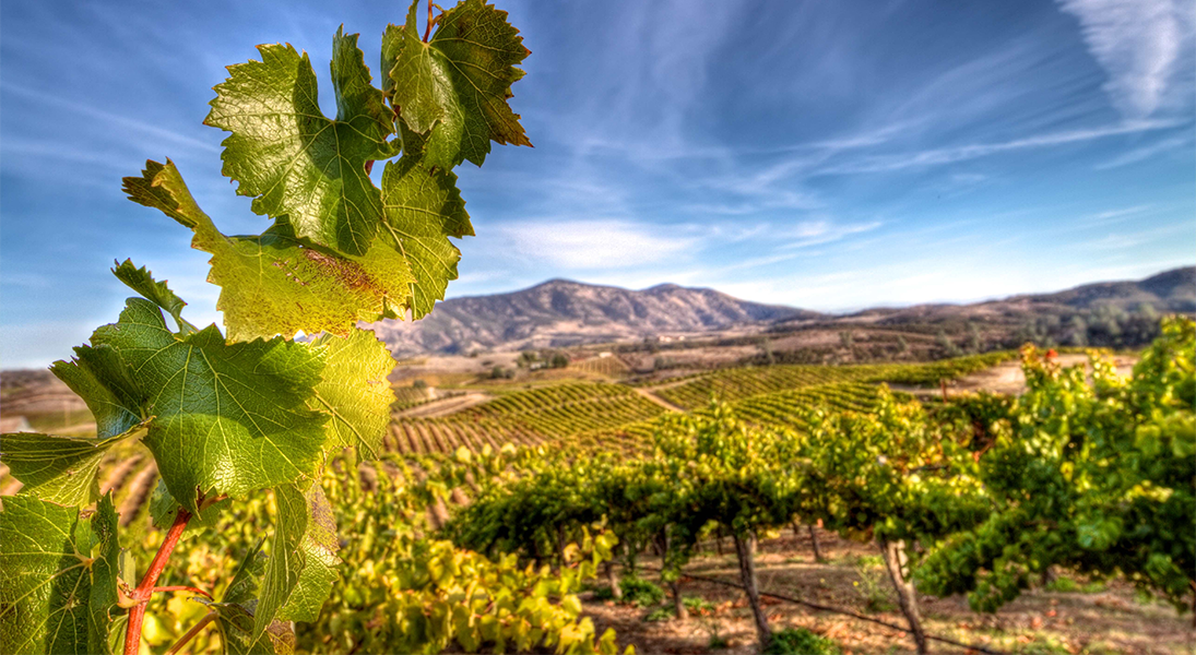 Close Up of Grape Vine Leaf with Vineyard in Background