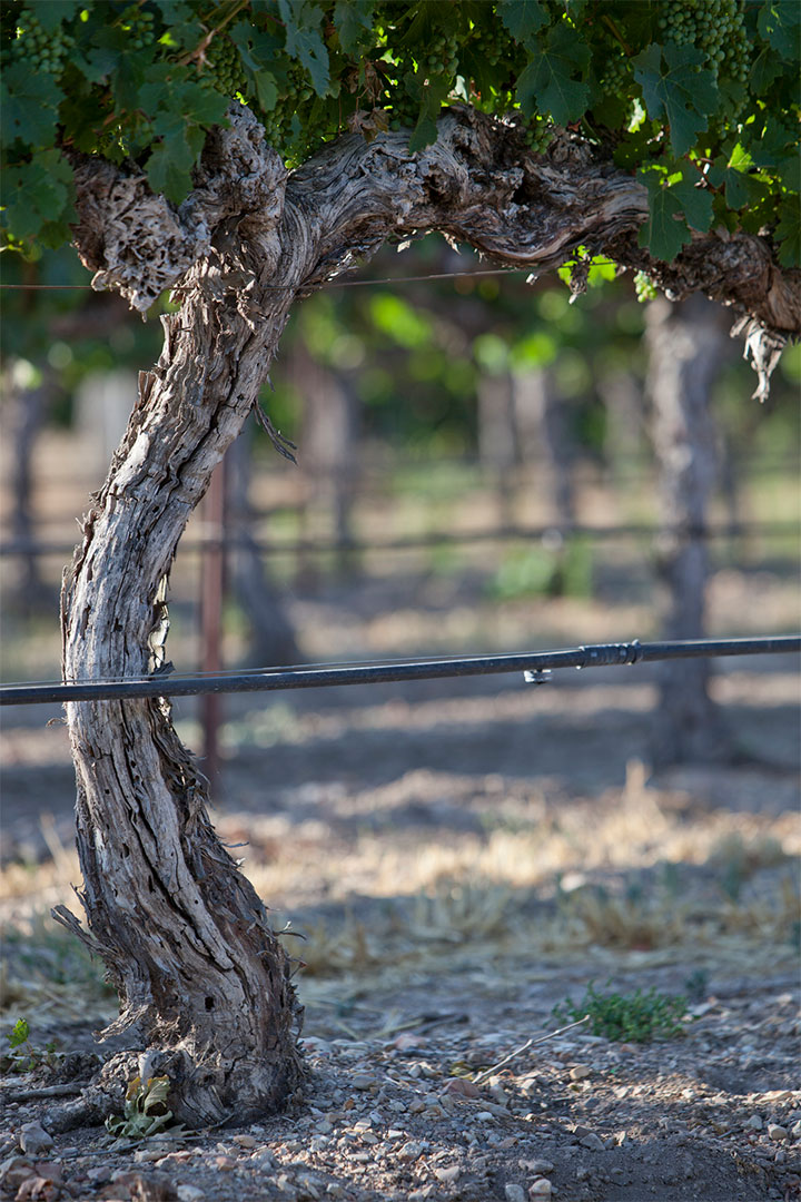 Close Up of Grape Vines at the Firestone Vineyard in Los Olivos, California