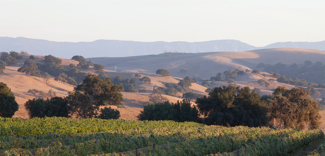 Santa Ynez Valley Vineyard in Foreground with Trees and Mountains in the Distance