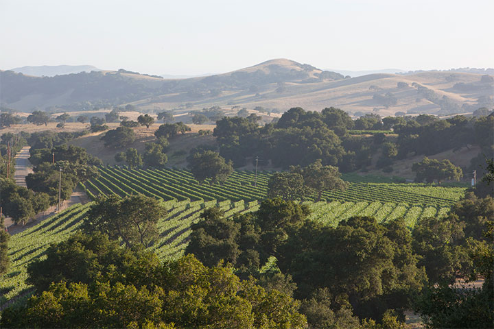 Lush green vineyard in the Santa Ynez Valley