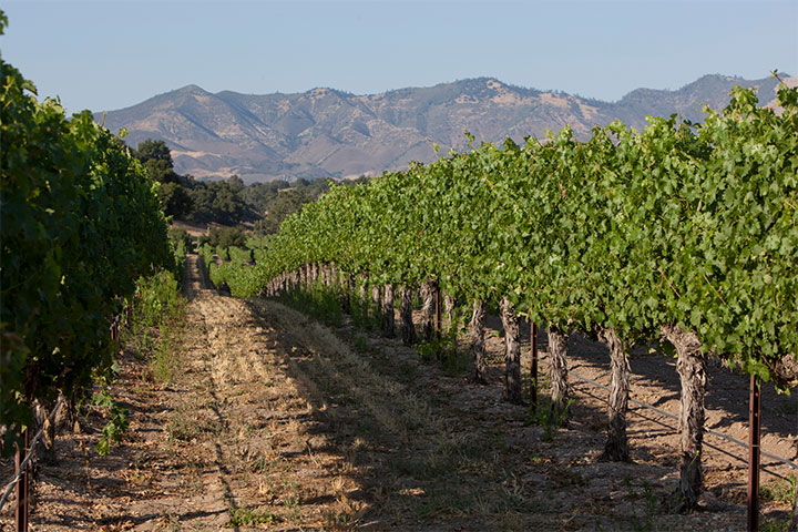 Two Rows of Grape Vines Over Rolling Hills