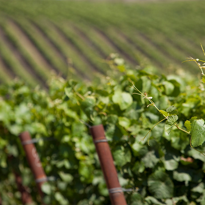 Close Up of Grape Vines with Rows of Vines in the Distance