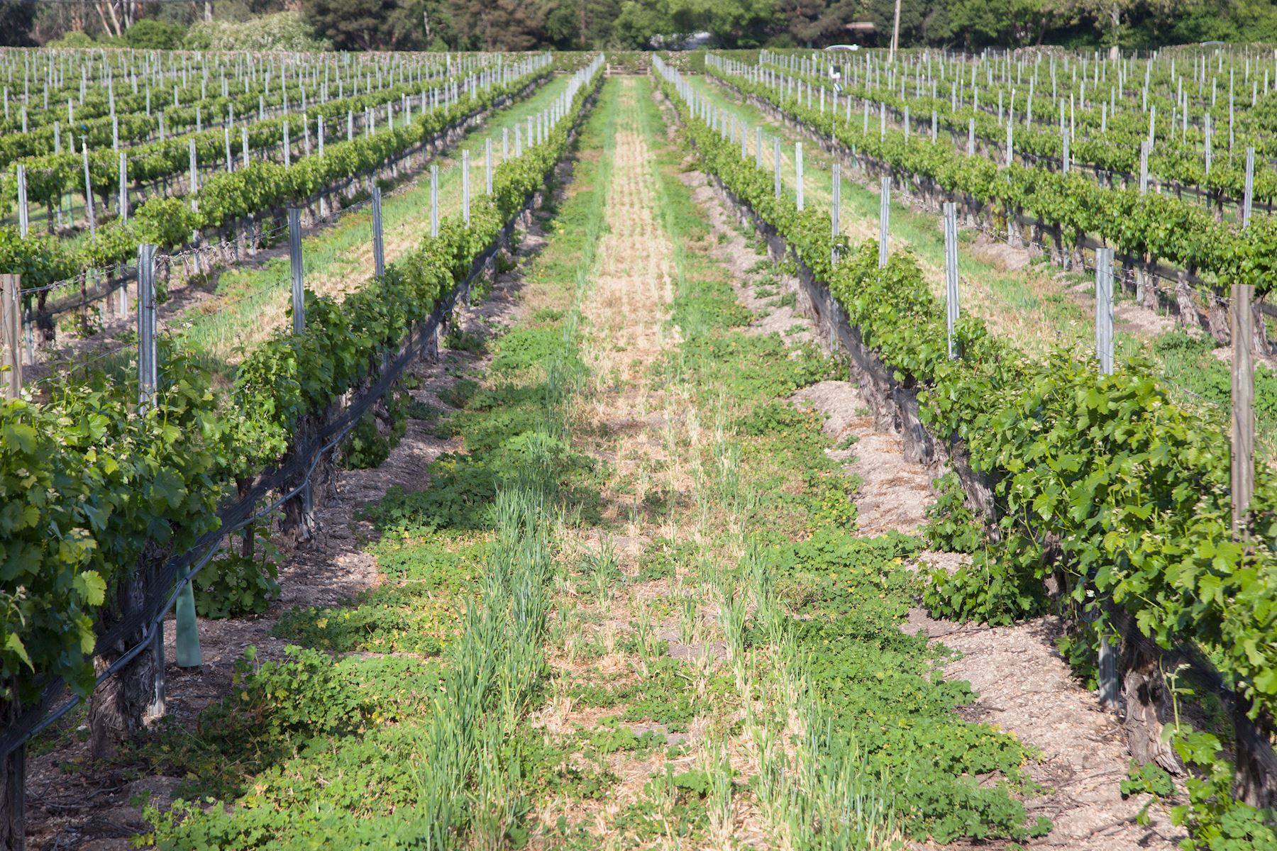 The vines growing at Lincourt Vineyard