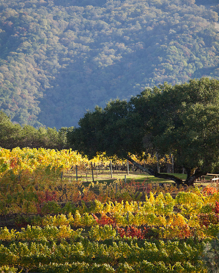 Fall Colors Blanket the Kuleto Estate Vineyards