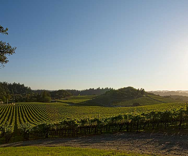 Green Grape Vines Extend Over Rolling Hills