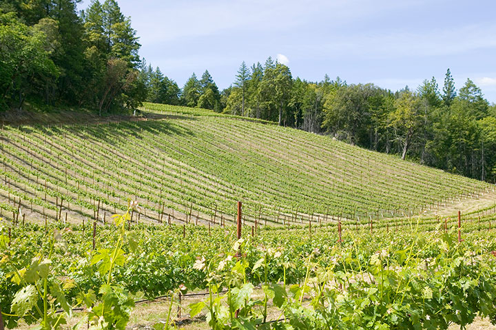 Gentle Slope with Verdant Vineyard