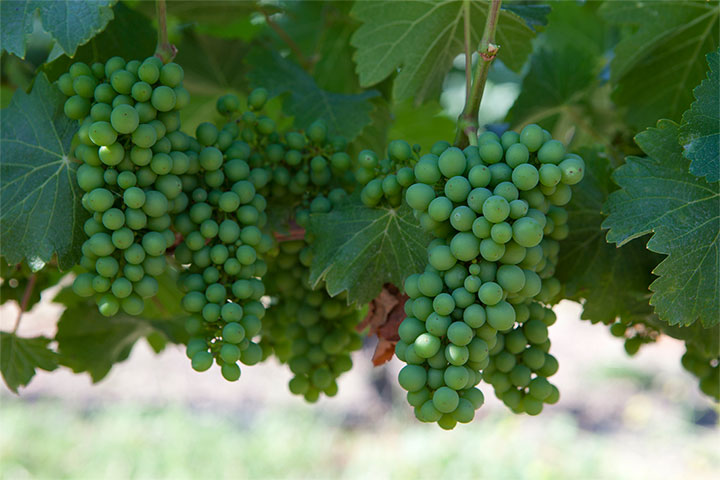 Close Up of Grapes on the Vine at Lincourt Vineyards
