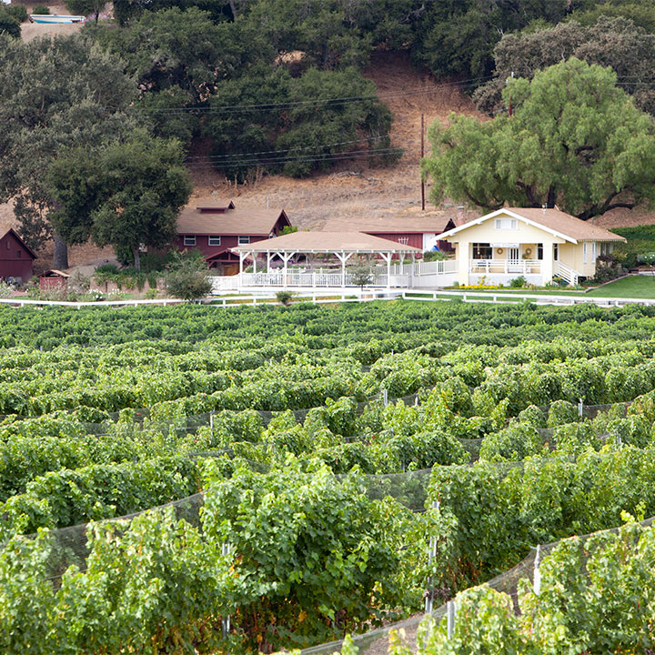 Green Grape Vines in Foreground with the Lincourt Tasting Room in the Background