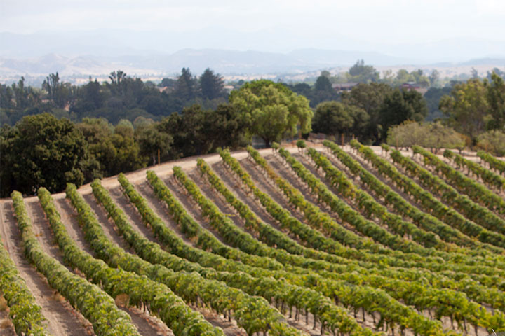 Row Upon Row of Grape Vines Extending Over Rolling Hills