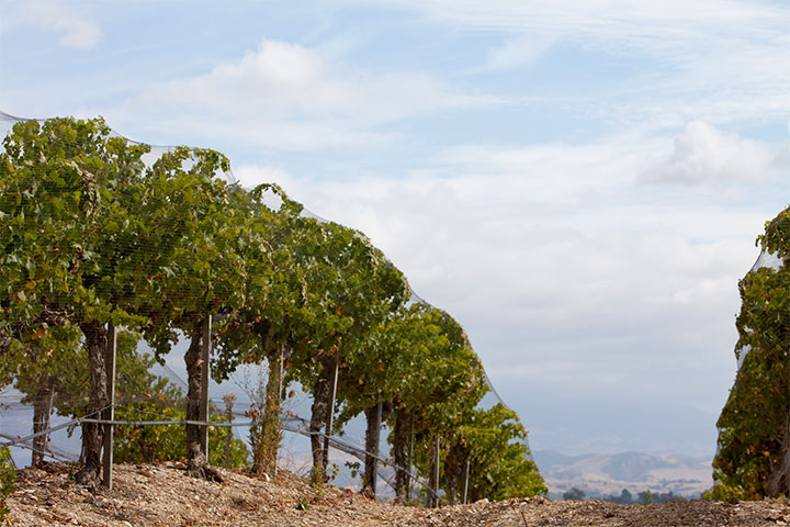 Grapes Vines Extending Over a Hill