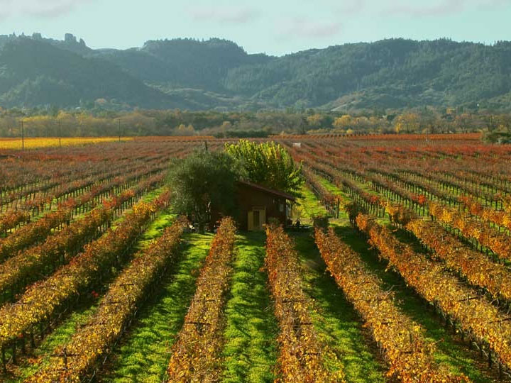 Fall Colors Blanket a Vineyard in Sonoma County