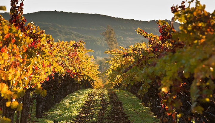 Sebastiani Vineyard in the Fall