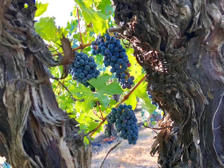 Red Wine Grape Clusters on a Vine