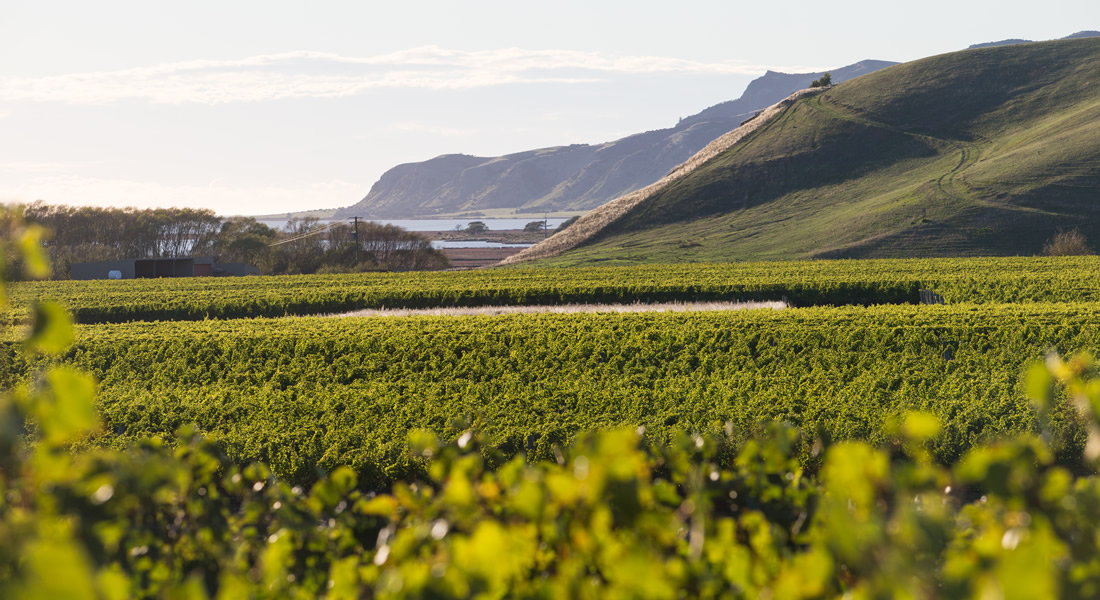 View of Clifford Bay Vineyards with Ocean in back