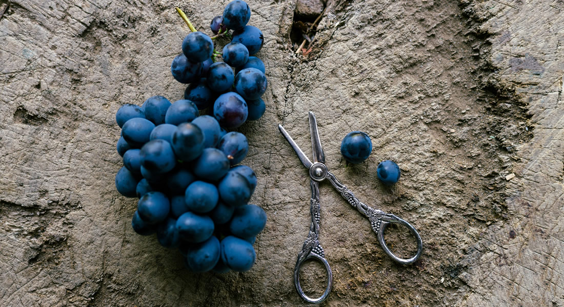 Pruning Shears next to a ripe Wine Grape Cluster