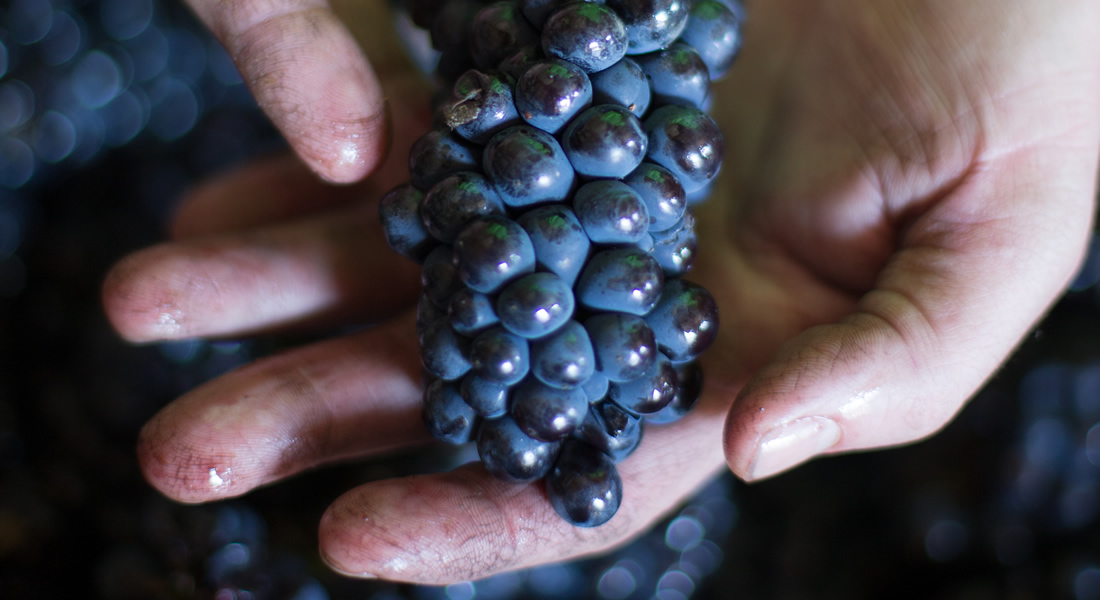 Grape Cluster held in wine-stained hands